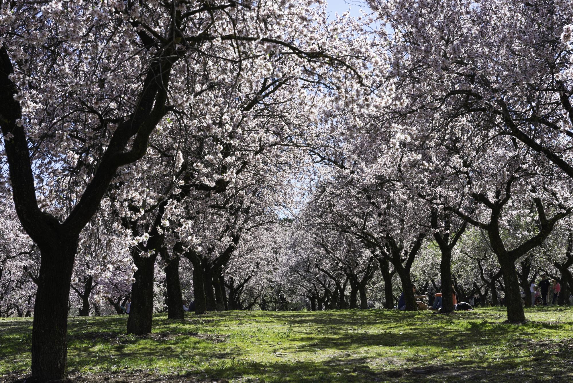 Almendros en flor en el paqrue LA Quinta de los molinos